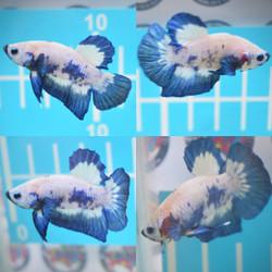 ikan cupang betta Male jantan cowo blue rim bluerim grade 1