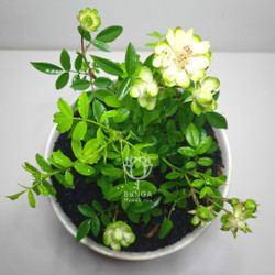 Tanaman Hias Bunga Mawar Hijau - Eclair Rose