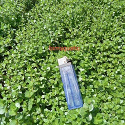 rotala rotundifolia. green/rotun green