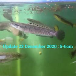 Jual Channa Orna Murah Harga Terbaru 2021