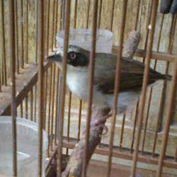 Jual Burung Cucak Ranti Betina Bahan Pilihan Jakarta Timur Jamsoy Tokopedia
