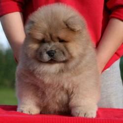 Jual Anjing Chow Chow Murah Harga Terbaru 2020