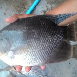 Jual Ikan Gurame Di Jember Harga Terbaru 2021