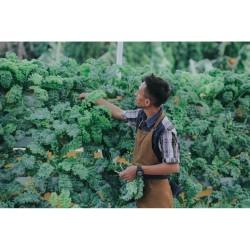 Termurah Sayur Curly Kale Hidroponik 100 gr - FRESH dr Kebun Sendiri