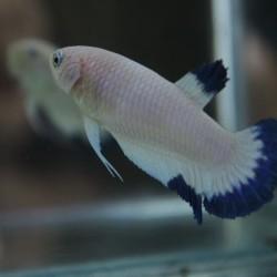 Jual Ikan Cupang Blue Rim Female Murah Harga Terbaru 2020