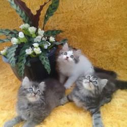 Jual Hewan Peiharaan Kucing Kab Jember Toko Basmalah1 Tokopedia