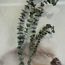 dried flower / dried leaves/ eucalyptus dried