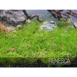 Hairgrass Mini