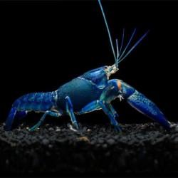 Jual Lobster Air Tawar Konsumsi Murah Harga Terbaru 2021