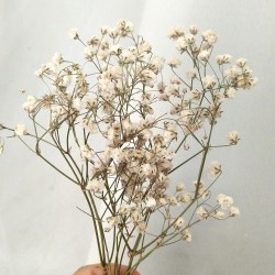 Baby breath natural dried