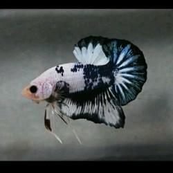 Jual Ikan Cupang Samurai Terbaik Terbaru 2020 Harga Murah