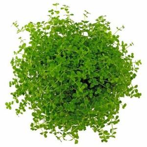 tanaman aquascape micranthemum 'monte carlo'