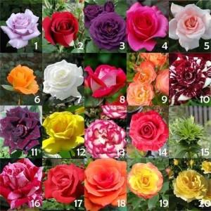 Paket Tanaman Murah 10 Jenis Mawar