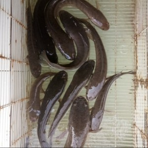 Harga ikan gabus hidup segar | HARGALOKA.COM