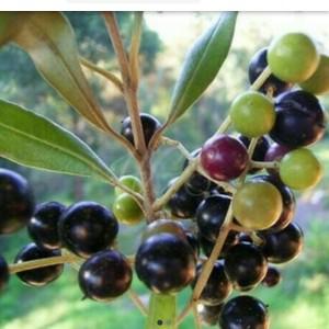 Harga bibit tanaman buah zaitun | HARGALOKA.COM