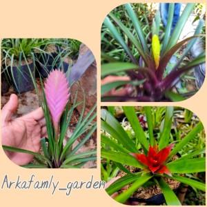 Harga satu paket isi 3 tanaman bromelia jenis guzmania vinlansia isi 3 | HARGALOKA.COM