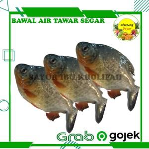 Harga ikan bawal air tawar segar 500 gram ikan hasil laut segar | HARGALOKA.COM