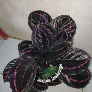 Harga tanaman hias   calathea black lipstik | HARGALOKA.COM