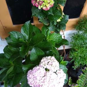 Harga bibit tanaman hias bunga panca warna | HARGALOKA.COM