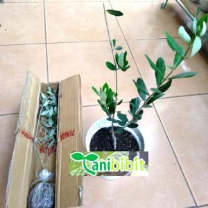 Harga bibit pohon zaitun black mission zaitun | HARGALOKA.COM