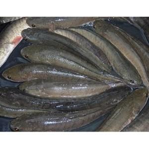 Harga ikan gabus segar   1 kilogram jabodetabek   | HARGALOKA.COM