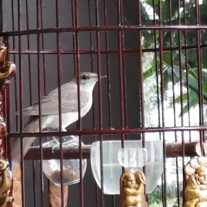 Harga burung sikatan londo nightingale jantan fullset import dari | HARGALOKA.COM