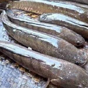Harga Ikan Gabus Katalog.or.id