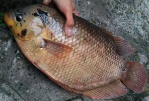 Harga ikan gurame fresh 1000 | HARGALOKA.COM