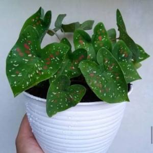 Harga tanaman hias keladi 3 | HARGALOKA.COM