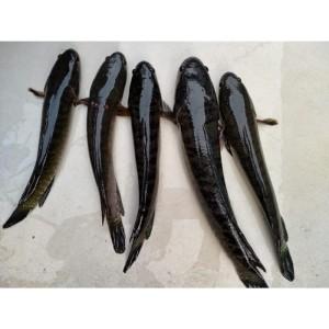 Harga ikan gabus hidup ukuran sedang isi 5 ekor kg via gojek | HARGALOKA.COM