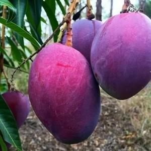 Harga bibit buah mangga irwin rajin berbuah super | HARGALOKA.COM