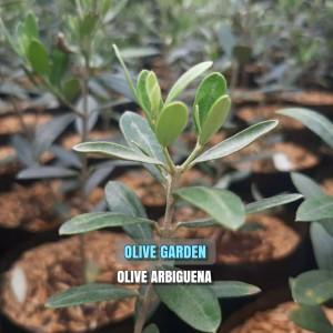 Harga bibit zaitun olive garden var arbiguena tinggi 15cm 20cm | HARGALOKA.COM