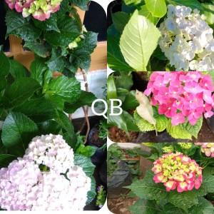 Harga paket 3 bibit tanaman hias bunga panca warna | HARGALOKA.COM