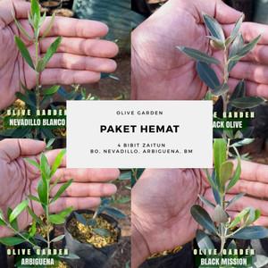 Harga bibit zaitun olive garden paket combo tinggi | HARGALOKA.COM
