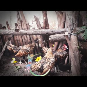 Harga ayam hias mutiara serama kalkun ring neck batik kapas poland chamois | HARGALOKA.COM
