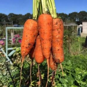 Harga benih bibit wortel | HARGALOKA.COM