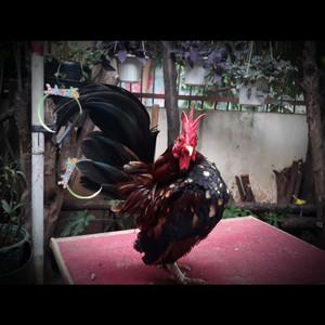 Harga ayam hias serama kalkun mutiara ring neck batik kapas poland chamois | HARGALOKA.COM