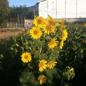 Harga biji bunga matahari isi 1 kg benih | HARGALOKA.COM