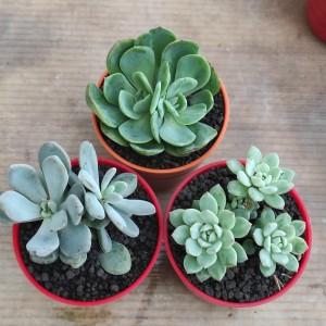 Harga tanaman hias sekulen paket 3 pot warna | HARGALOKA.COM