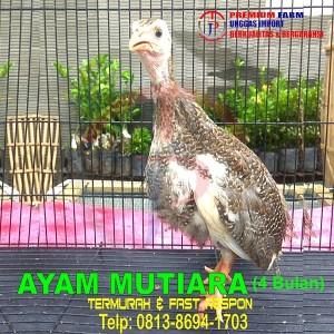 Harga promo mutiara 4 bulan anakan anakan ayam mutiara | HARGALOKA.COM