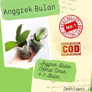 Harga seedling anggrek bulan hybrid   seedling anggrek bulan phalaenopsis | HARGALOKA.COM