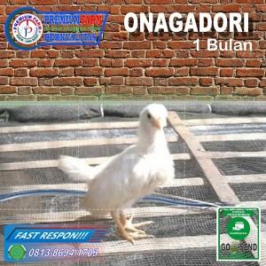 Harga Ayam Bantam Chocin Anakan Lucu Ayam Hias Katalog.or.id