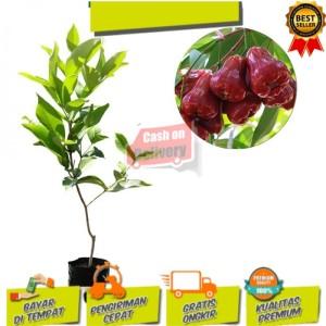 Harga bibit buah jambu air citra manis 80 | HARGALOKA.COM