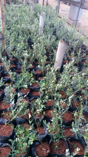 Harga paket 5 pohon bibit | HARGALOKA.COM