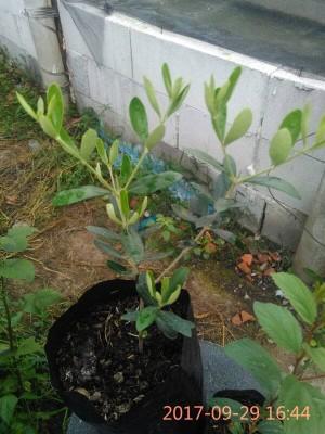 Harga bibit pohon zaitun | HARGALOKA.COM