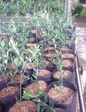 Harga jual bibit tanaman pohon zaitun black mision bibit biji | HARGALOKA.COM