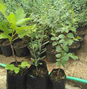 Harga sedia paket bibit tanaman bidara zaitun buah tin bibit biji | HARGALOKA.COM
