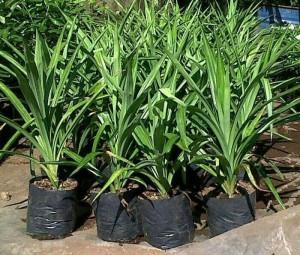 Harga bunga hias bibit tanaman pandan wangi bumbu | HARGALOKA.COM