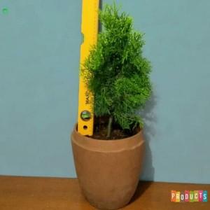 Harga tanaman hias pohon cemara medan sabina aurea | HARGALOKA.COM