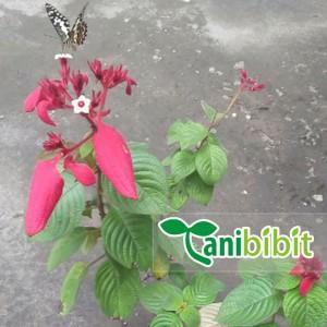 Harga bibit bunga nusa indah merah   tanaman pohon hias outdoor | HARGALOKA.COM